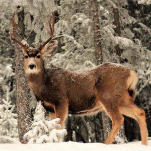 Buck In Snow