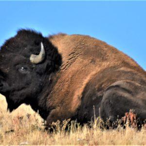 Sitting Bull Buffalo