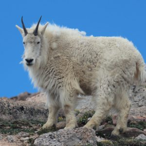 Mountain Goat Atop Mt. Evans